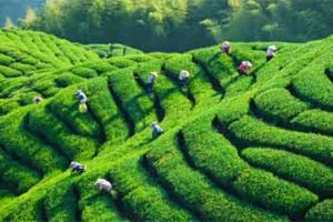 tea-fields--for-web